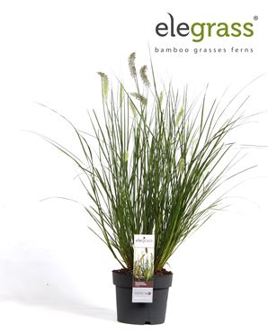 Pennisetum alopecuroides hameln - groene siergras met pluim middel