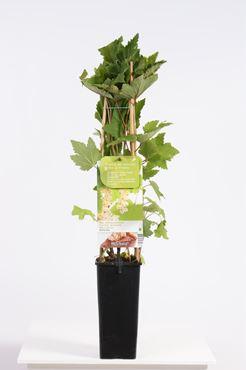 Ribes rubrum Witte bes