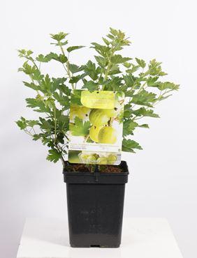 Ribes uva-crispa 'Hinnonmäki Grön' (gele kruisbes)
