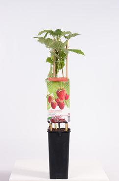 Rubus id. 'Glen Ample' (rode zomerframboos)