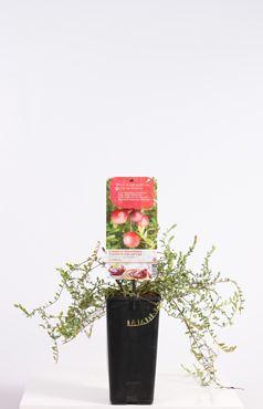 Vaccinium macrocarpon Cranberry (cranberry)