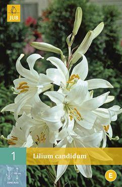 Lilium candidum (1 stuk)