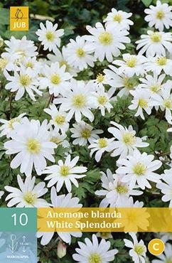 Anemone blanda 'White Splendour' (10 stuks)