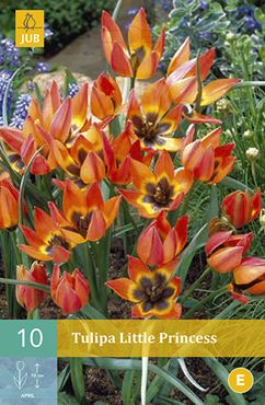 Tulipa 'Little Princess' (10 stuks)