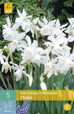 Narcissus triandrus 'Thalia' (5 stuks)