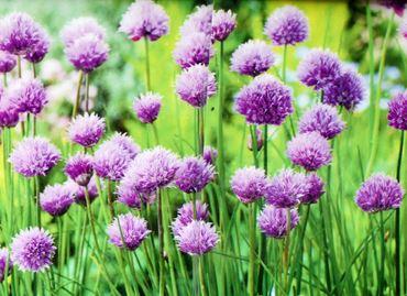 Allium schoenoprasum - Fijn bieslook