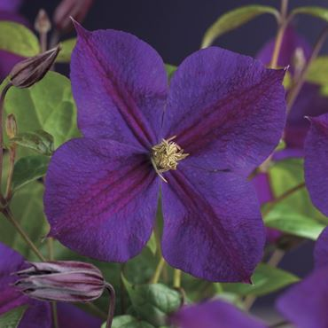 Clematis - 'star of india' (h75 cm)