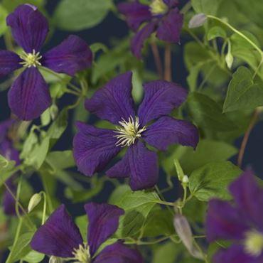 Clematis - vit. 'etoile violette' (h75 cm)