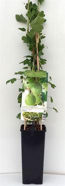 Ribes uva-crispa 'Tatjana' - Doornloze kruisbes