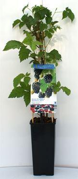Rubus fruticosus 'Triple Crown' - Doornloze braam