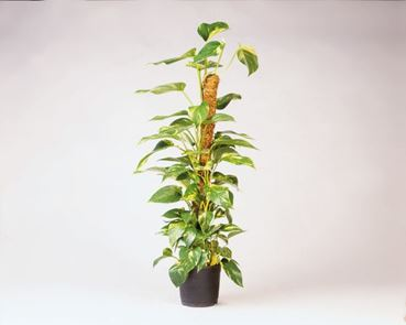 Kokosplantstok 60 cm-d 38 mm