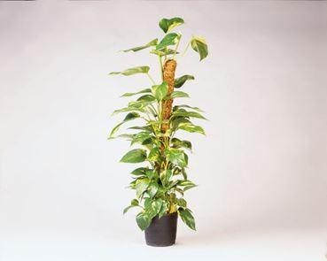 Kokosplantstok 120 cm-d 42 mm