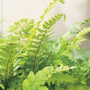 Polystichum setiferum - Niervaren