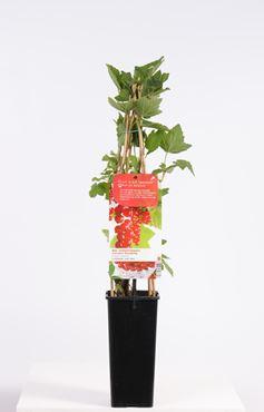 Ribes r. 'Jonkheer Van Tets' - Rode bes , vroeg rijpend