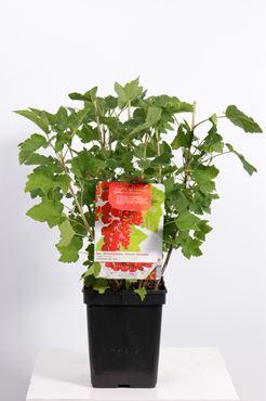 Ribes r. 'Jonkheer Van Tets' (rode bes , vroeg rijpend)