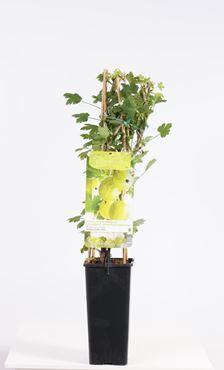 Ribes uva-crispa 'Hinnonmäki Grön' - Gele kruisbes