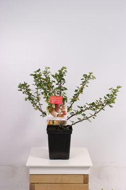 Ribes uva-crispa 'Hinnonmäki Röd' (rode kruisbes)