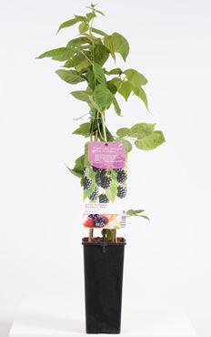 Rubus fruticosus 'Black Satin' - Doornloze braam