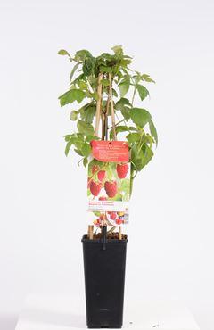 Rubus id. 'Aroma Queen' (rode herfstframboos)