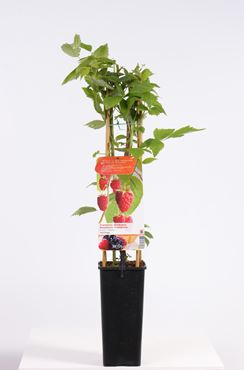 Rubus id. 'Heritage' (helderrode kleine herfstframboos)