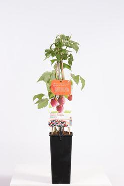 Rubus id. 'Schönemann' (donkerrode zomerframboos)