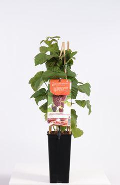 Rubus 'Loganberry' - Loganbes