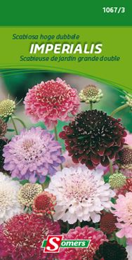 Somers Scabiosa 'Imperialis'