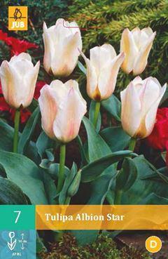 Tulipa 'Albion Star' (7 stuks)