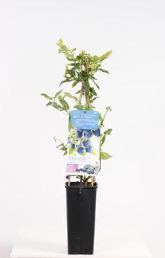 Vaccinium corymbosum 'Bluecrop' - Blauwe bes
